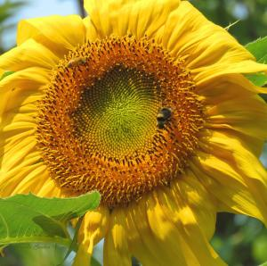 SUNFLOWER POWER - my NEW group...and welcome to it